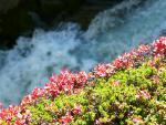 Alpská vegetace ve Stubaii